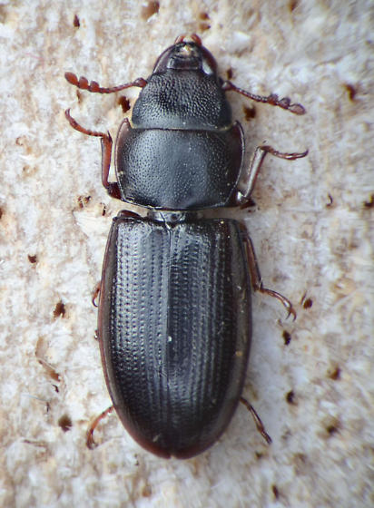 Bark-Gnawing Beetle - Tenebroides laticollis