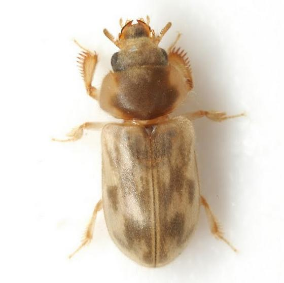Heterocerus intermuralis Pacheco - Heterocerus intermuralis