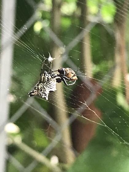 Micrathena gracilis - Detroit, Mi - Micrathena gracilis - female