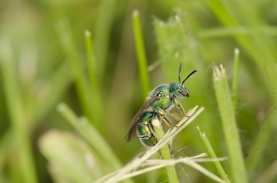 Unidentified wasp/bee - Augochloropsis metallica