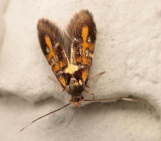 Moth for ID - Fabiola edithella