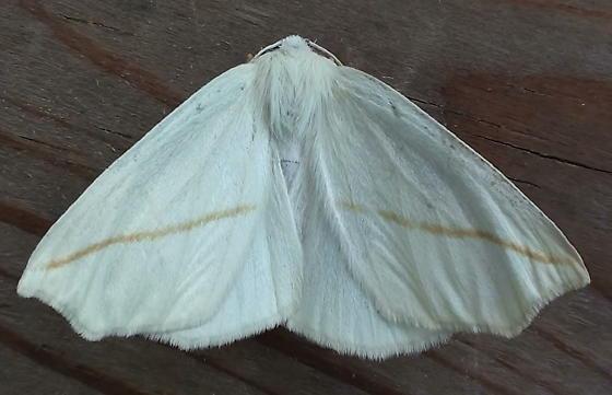 Geometridae: Tetracis cachexiata - Tetracis cachexiata