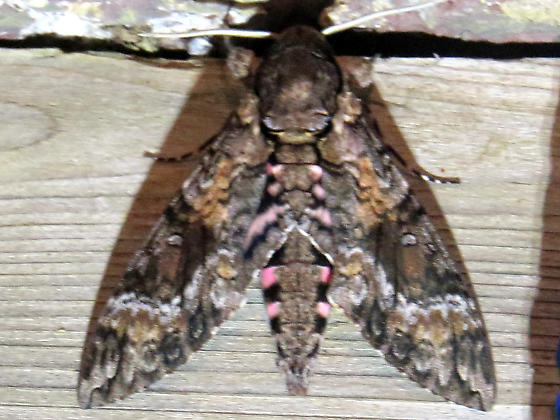 Pink-spotted Hawk Moth in New Brunswick - Agrius cingulata