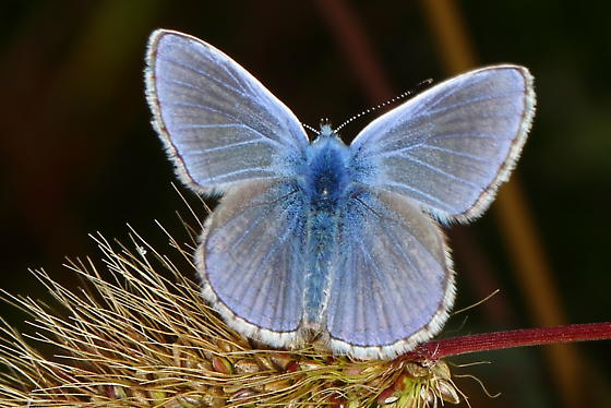 Blue butterfly - Polyommatus icarus