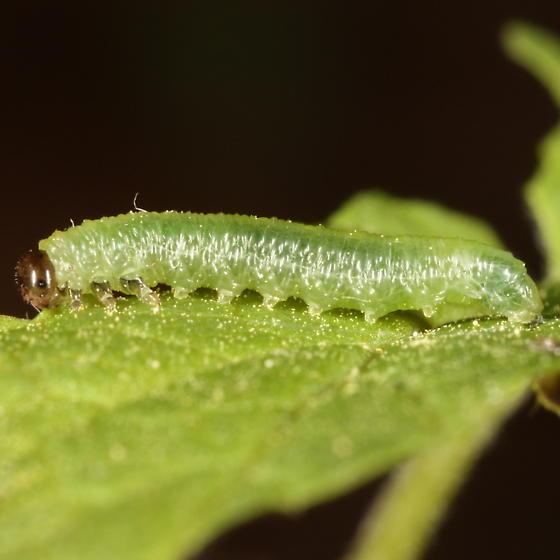 Pristiphora appendiculata