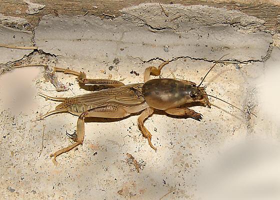 Mole Cricket - Neoscapteriscus borellii - male