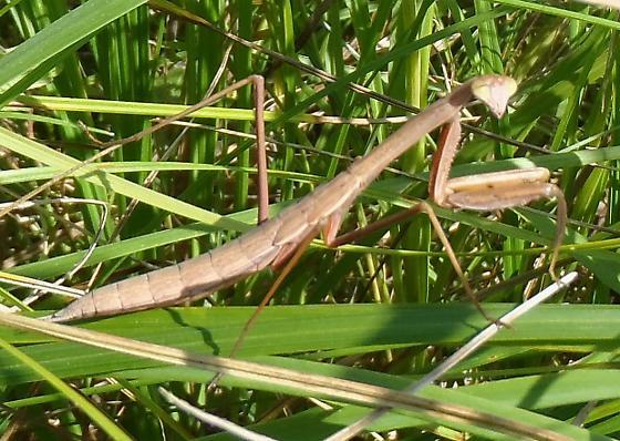 Mantid in native prairie - Tenodera sinensis