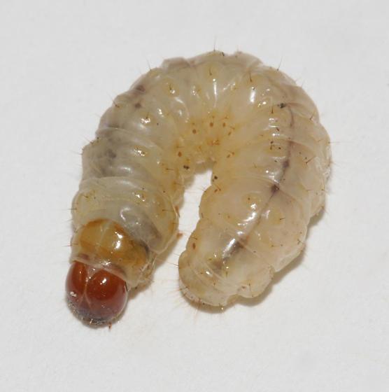 Ironweed Root Moth - Polygrammodes flavidalis