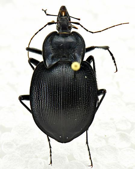 Scaphinotus unicolor - female