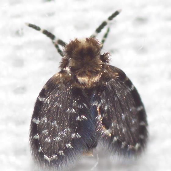 Moth Fly - Eurygarka
