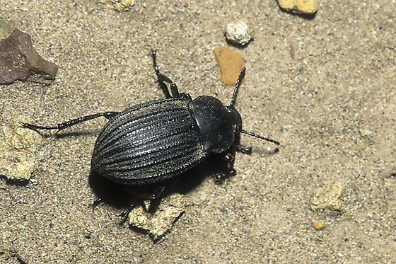 Three-ribbed Darkling Beetle - Eleodes tricostata