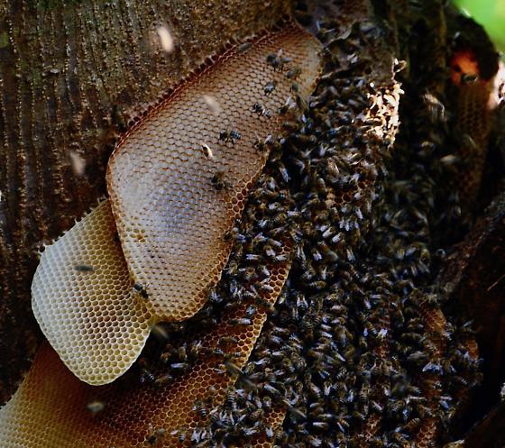 Bees in South Miami - Apis mellifera