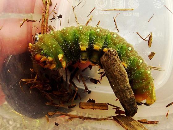 Imperial moth larvae?? - Eacles imperialis