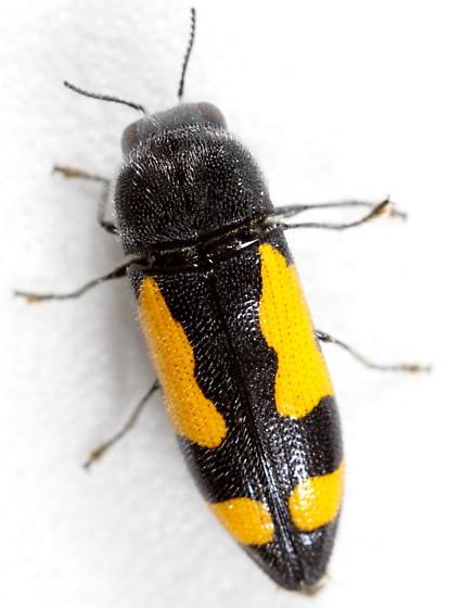 Ptosima gibbicollis