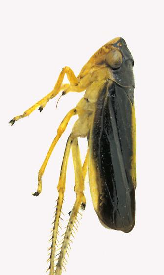 Leafhopper - Evacanthus interruptus - female