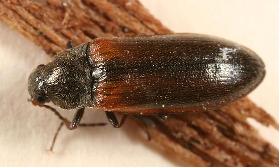 Click Beetle - Eanus estriatus