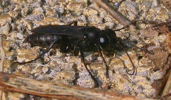 Wasp - Liris