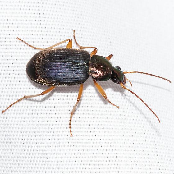 Chlaenius emarginatus? - Chlaenius tricolor