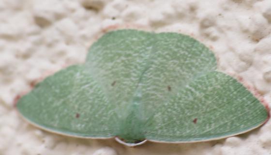 Marina Moth - Nemoria pistaciaria - male