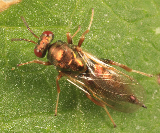 small wasp - Ormyrus - female