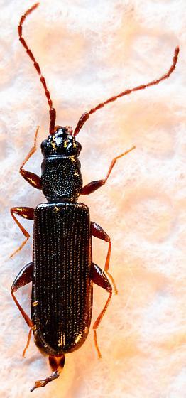 Dendrophagus cygnaei? - Dendrophagus cygnaei