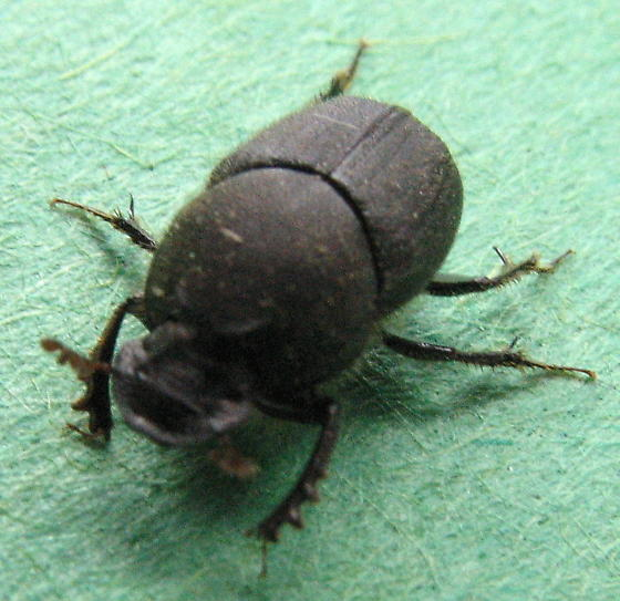 dung beetle - Onthophagus hecate - male