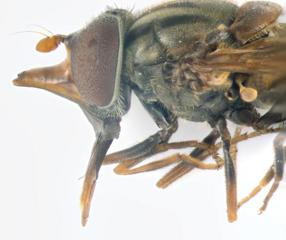 Syrphidae - Rhingia nasica - female
