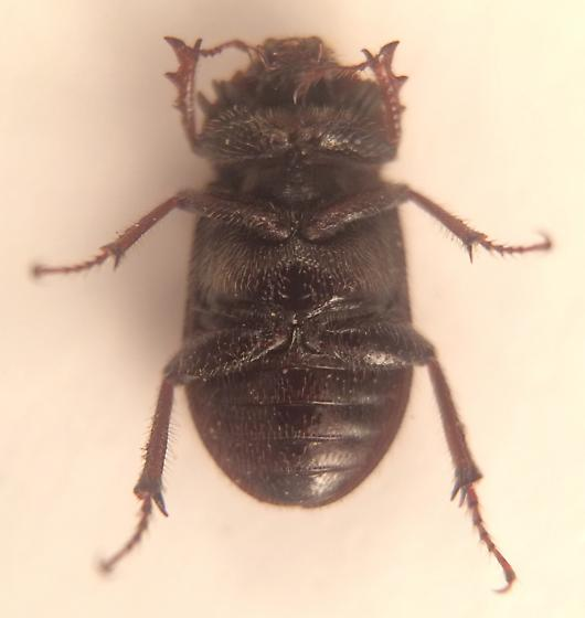 Beetle - Nicagus obscurus - male
