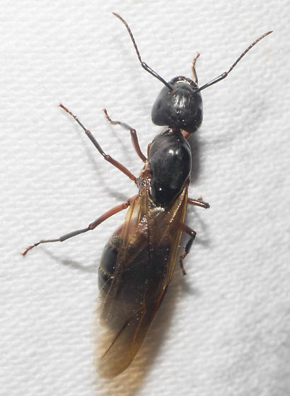 Large black winged ant - Camponotus chromaiodes
