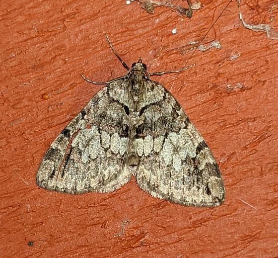 Carpet moth - Hydriomena marinata