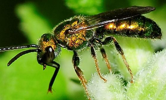Halictidae - Sweat Bees Augochlorella or Augochlora pura