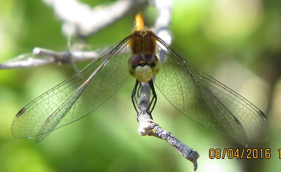 White-faced Meadowhawk? - Sympetrum - female