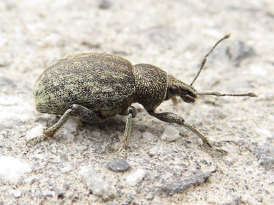 Brown Beetle - Otiorhynchus ligustici
