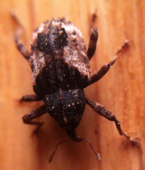 Evasive Weevil ID - Cryptorhynchus fuscatus