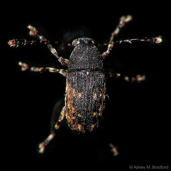 Dark Weevil - Piesocorynus lateralis