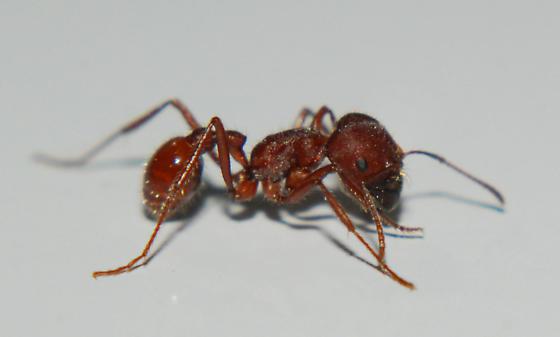 Pogonomyrmex badius
