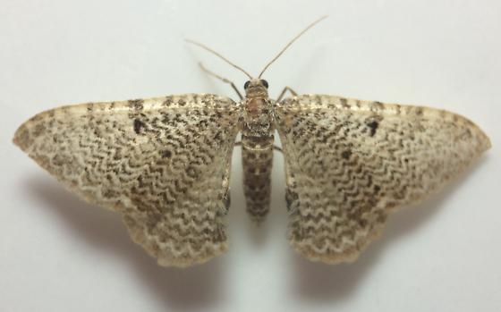 Rheumaptera prunivorata - male