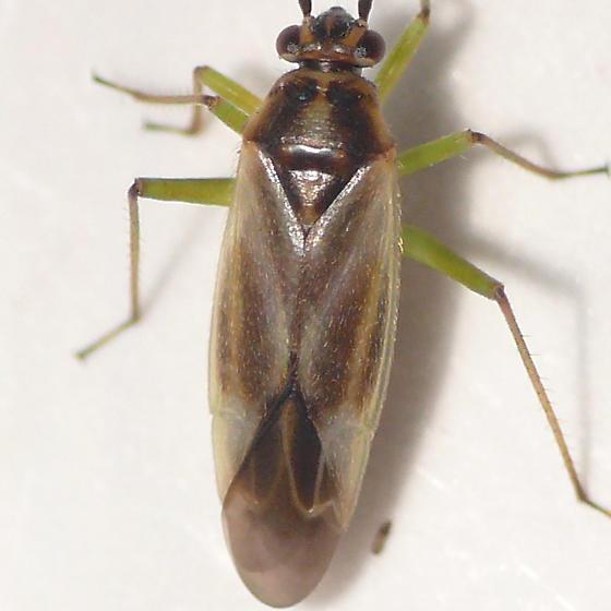 Orthotylus from Oregon (2) 10.07.16 - Orthotylus