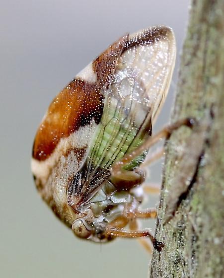 Tree Hopper?  Possibly Cyrtolobus genus