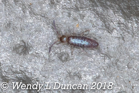 Color Changing Springtail - Seira