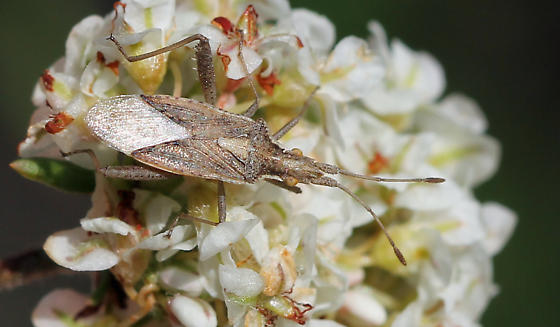 Which plant bug is this? - Harmostes