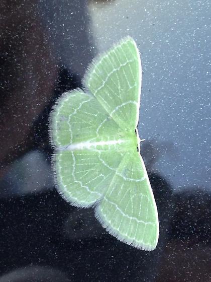 Small green moth - Synchlora aerata