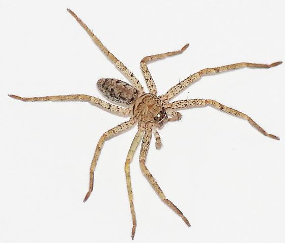 Juvenile Huntsman spider? - Heteropoda venatoria