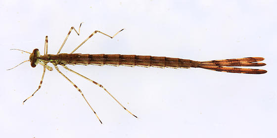 Elegant Spreadwing - Lestes inaequalis