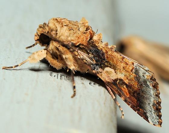 Unknown Moth - Spodoptera latifascia