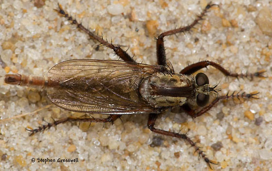 North Carolina Beach Robber #2 - Proctacanthus brevipennis - male