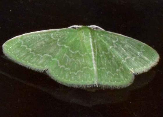 Green Moth - Synchlora frondaria