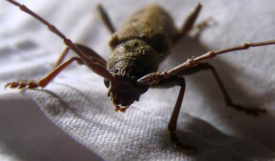 Longhorned beetle - Brothylus gemmulatus - male