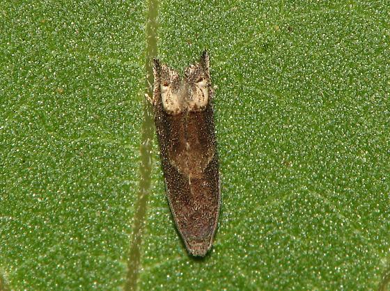 Strange moth - Epiblema strenuana