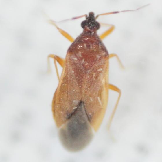 Anthocorid - Amphiareus obscuriceps